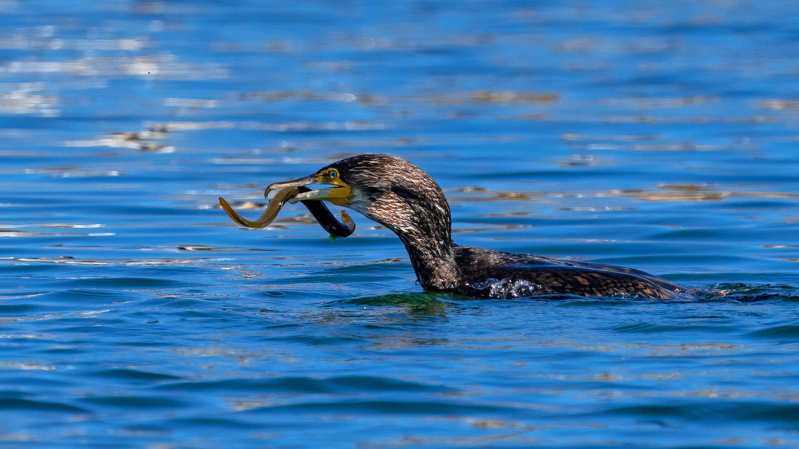 cormoran comun pescando 2