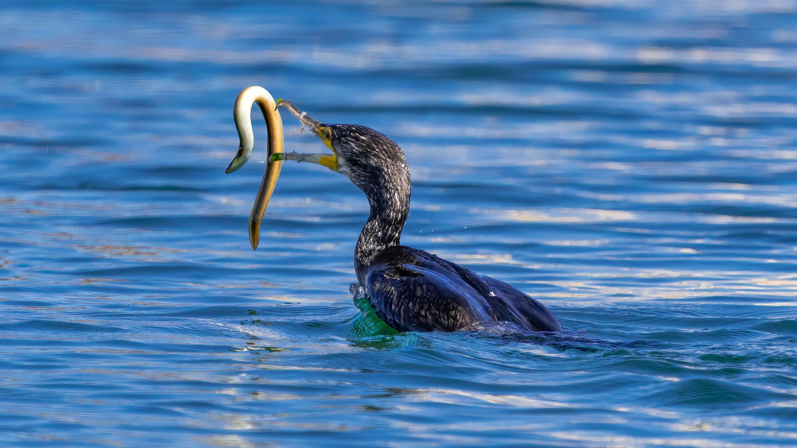 cormoran comun pescando 3