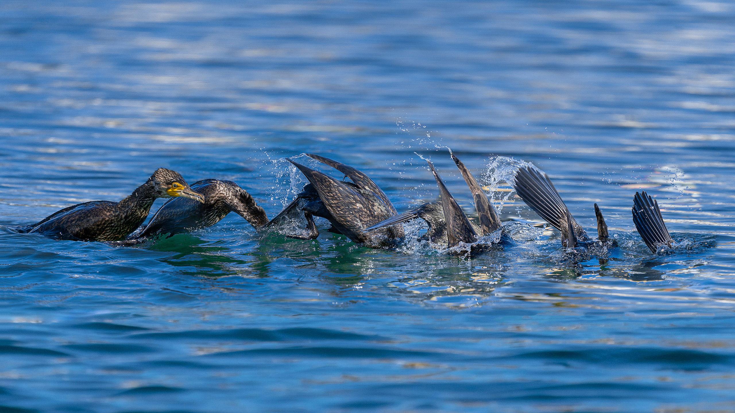 cormoran comun pescando 4