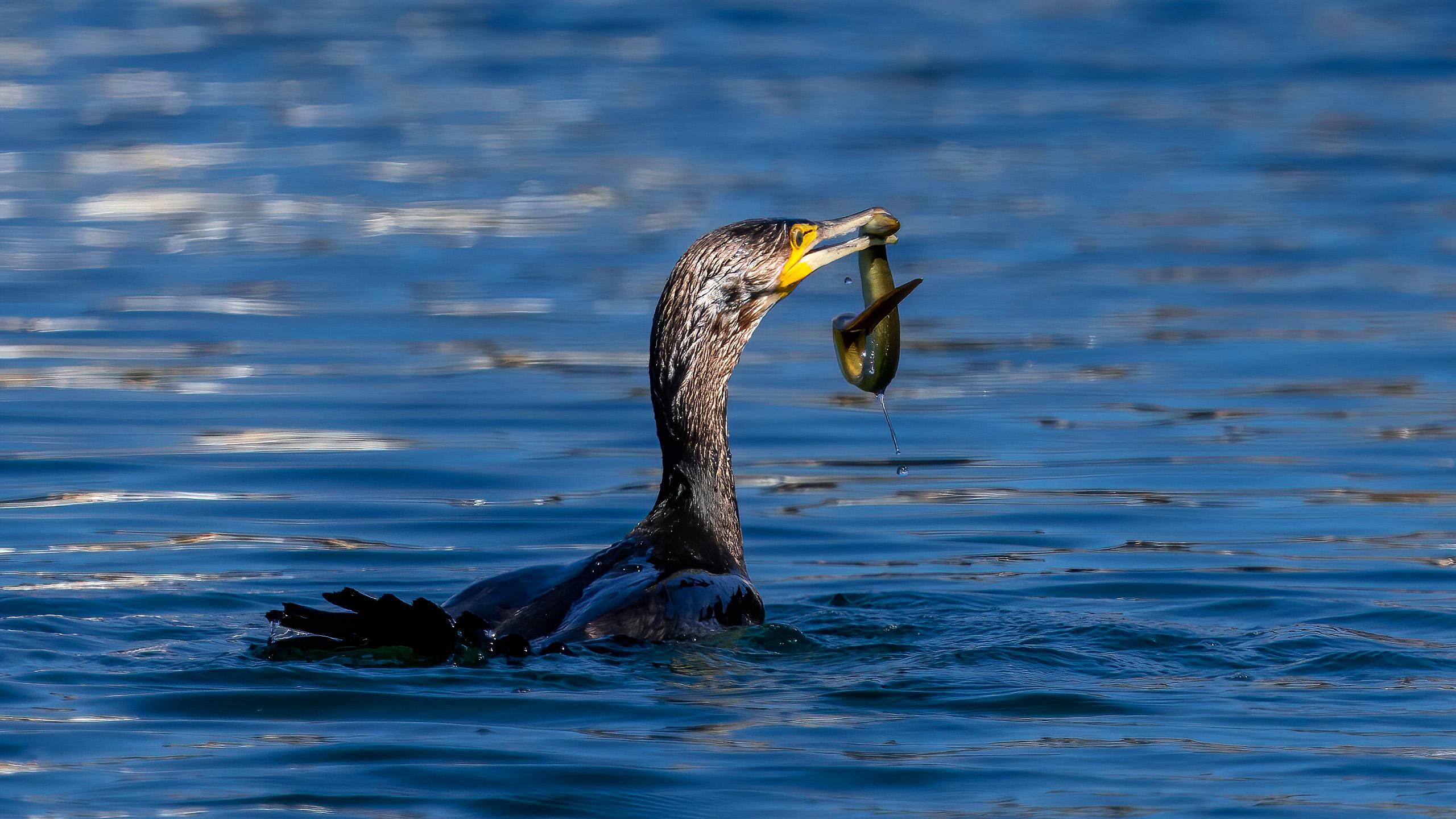 cormoran comun pescando