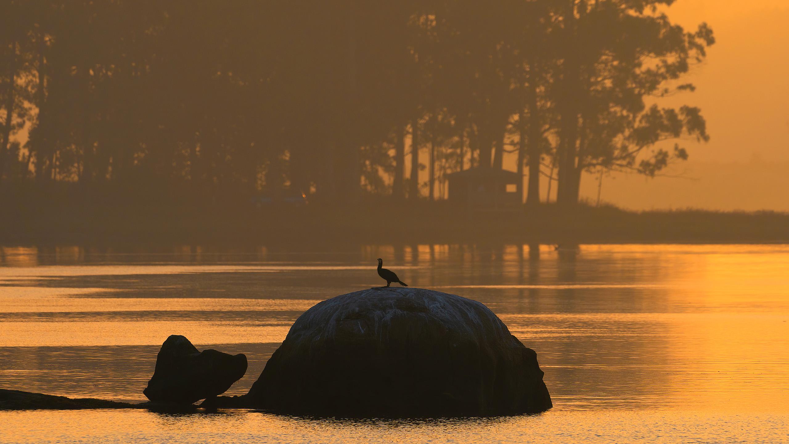 cormoran solitario