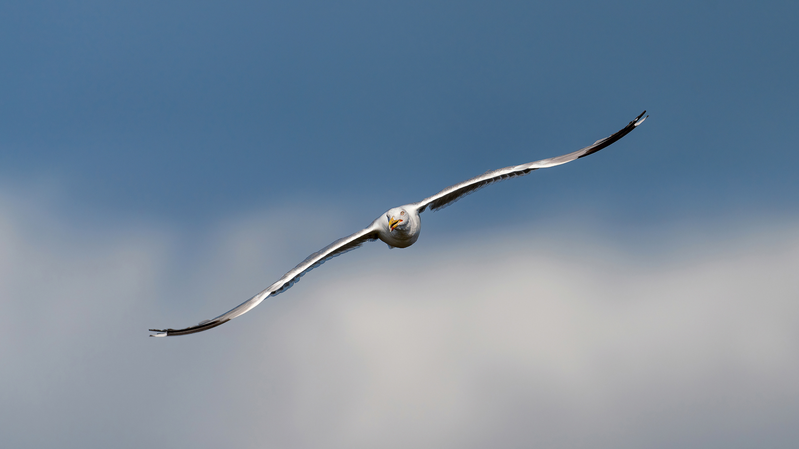 gaviota patiamarilla vuelo