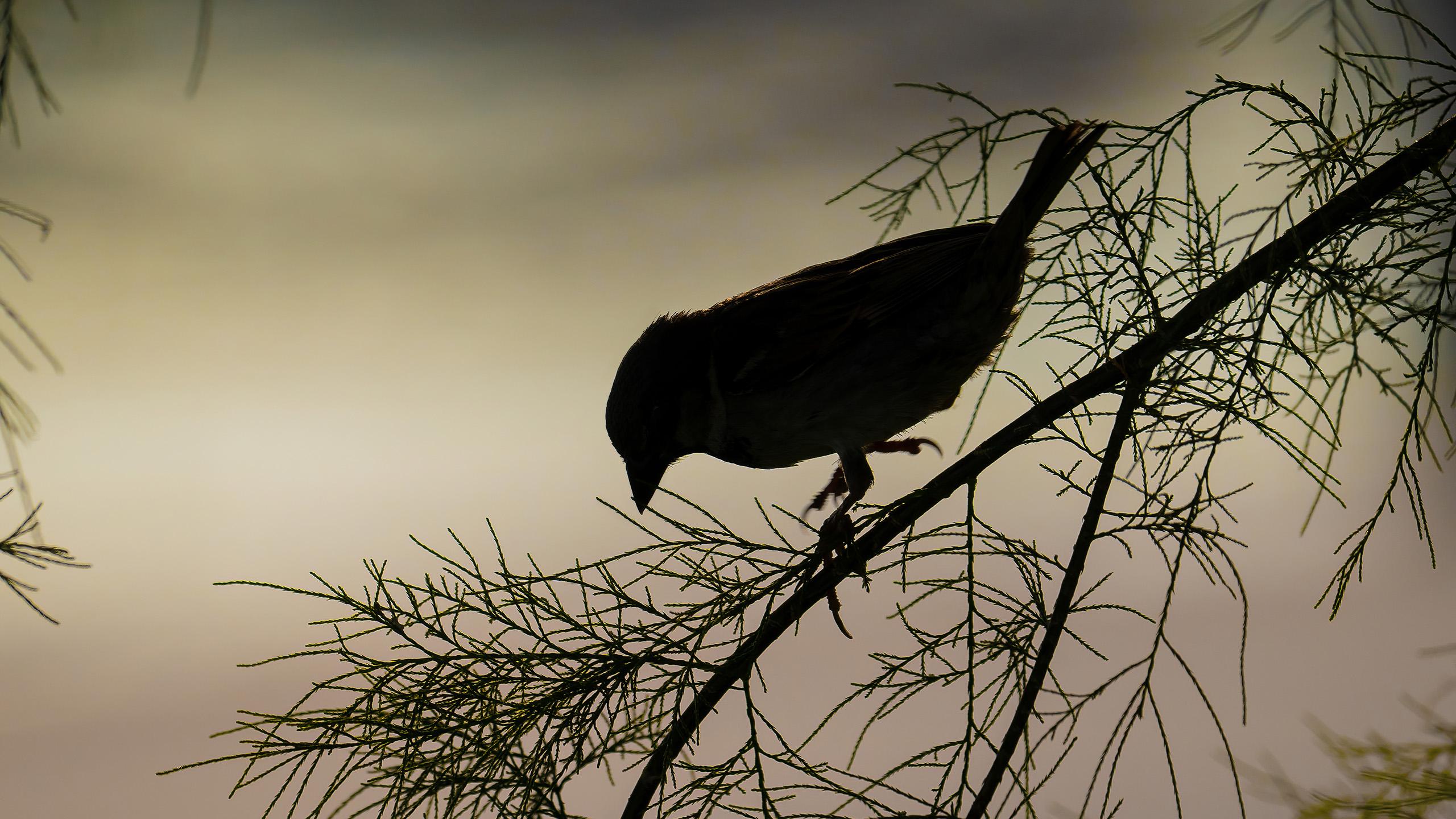 gorrion comun 3