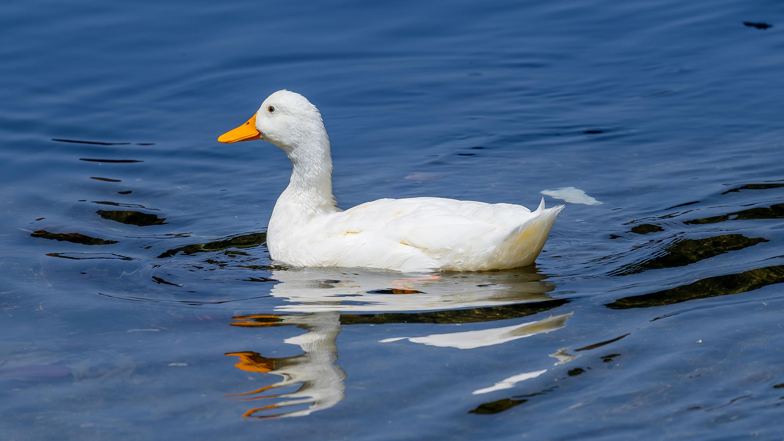 pato comun