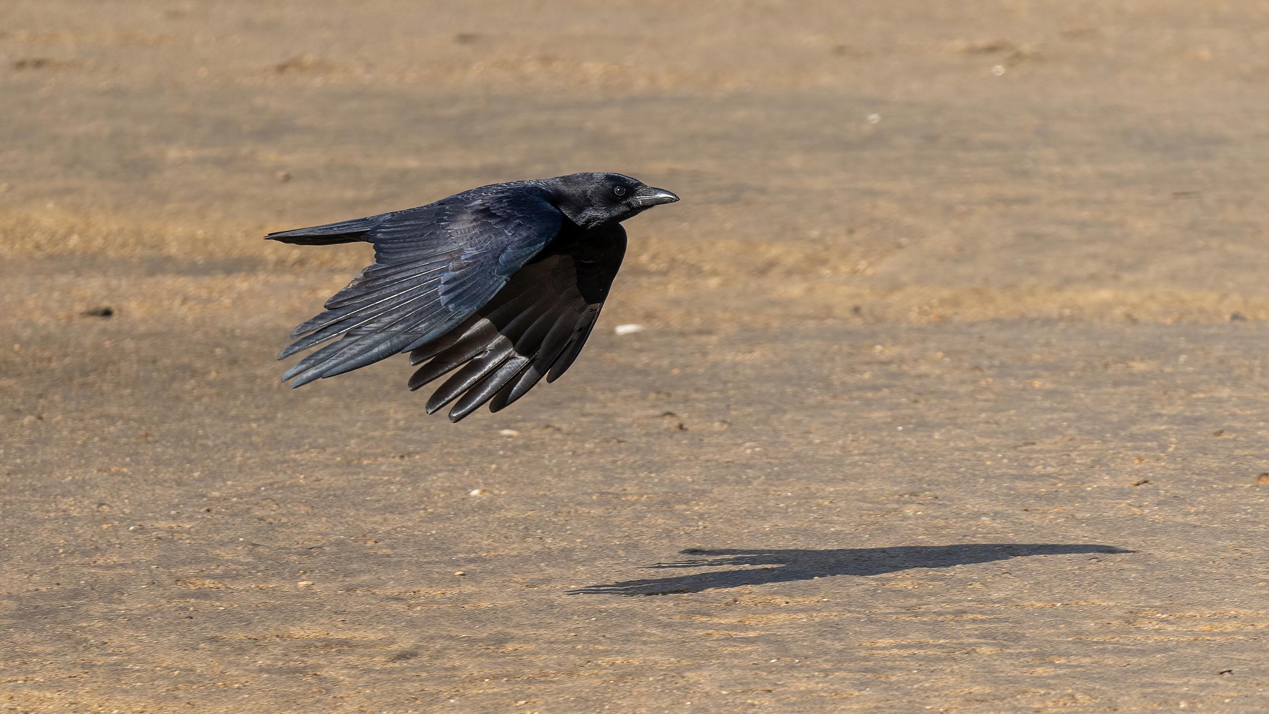 cuervo común